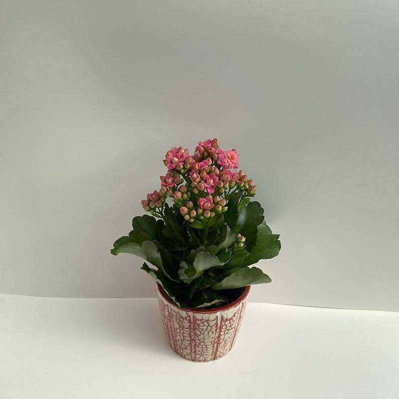 Seramik Saksı İçerisinde Koyu Pembe Çiçekli Kalonşo