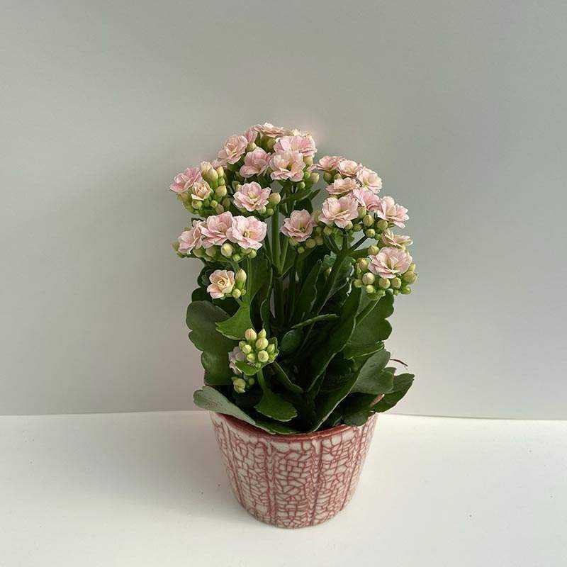 Seramik Saksı İçerisinde Açık Pembe Çiçekli Kalonşo