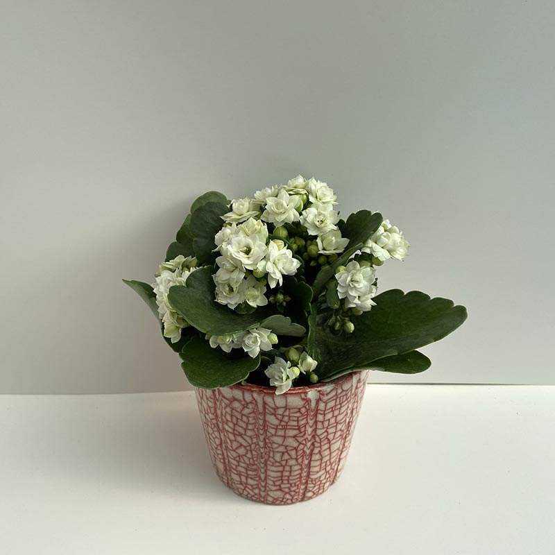 Seramik Saksı İçerisinde Beyaz Çiçekli Kalonşo