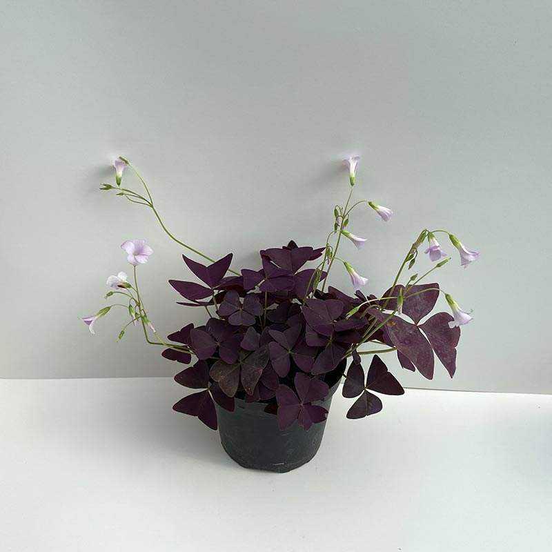 Oxalis / Mor Yonca / Uyku Çiçeği