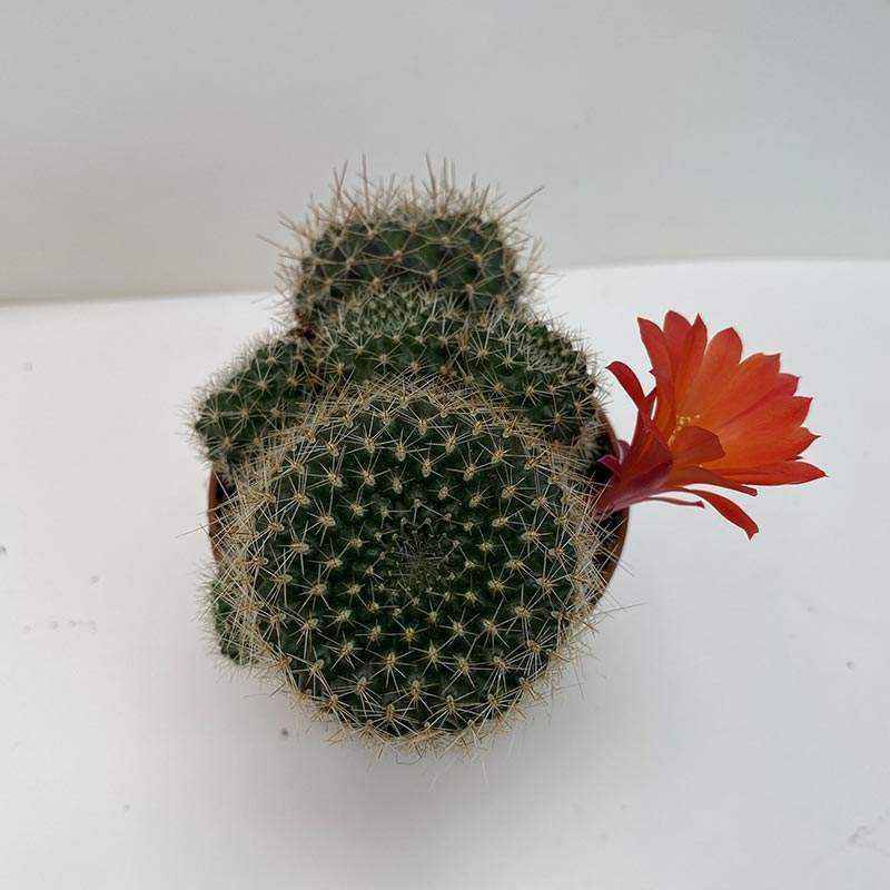 Rebutia Heliosa Condorensis