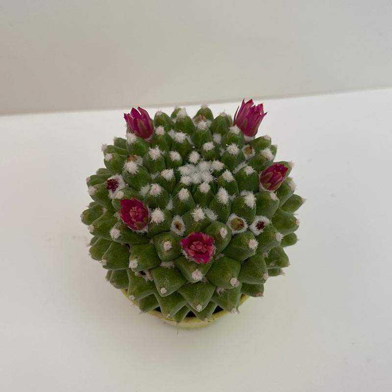 Mammillaria Toluca
