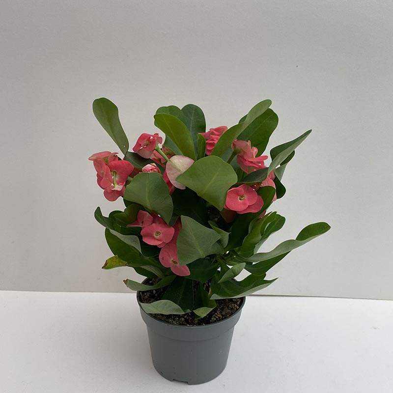 Euphorbia Milii (Dikenlerin Tacı) Koyu Pembe