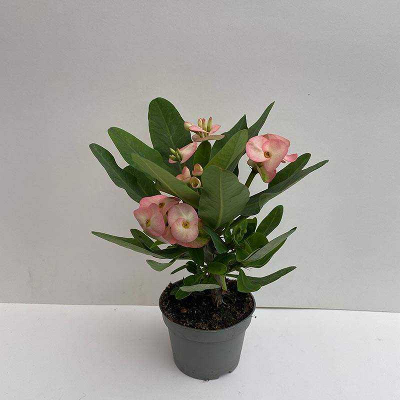 Euphorbia Milii (Dikenlerin Tacı) Açık pembe