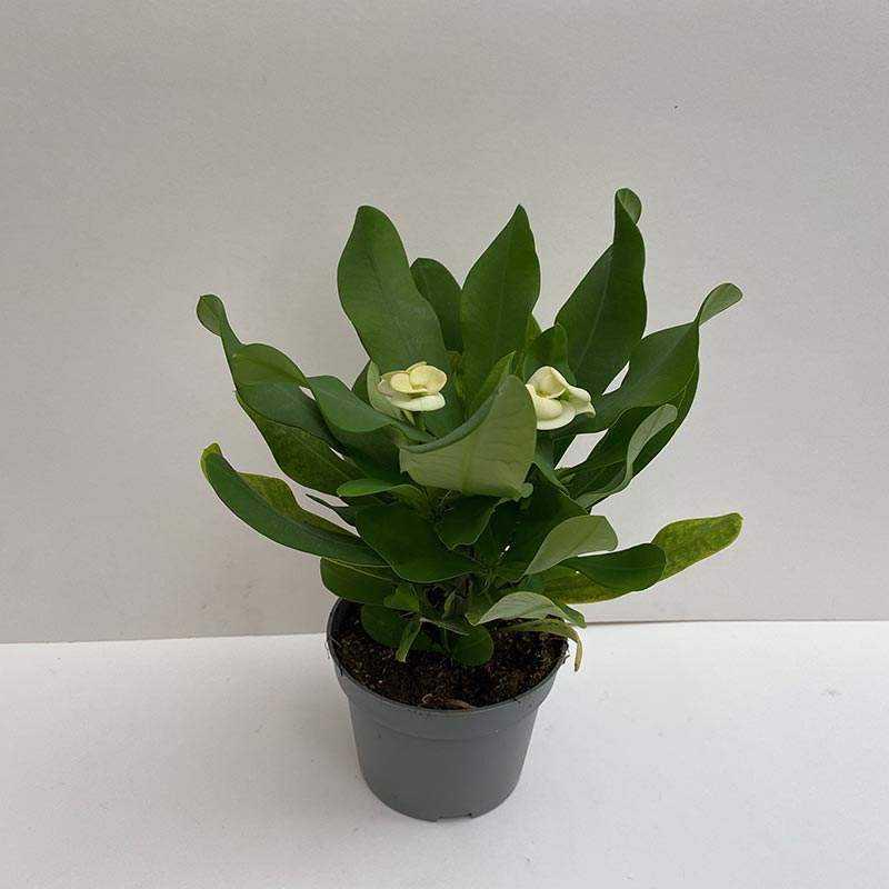 Euphorbia Milii (Dikenlerin Tacı) Beyaz