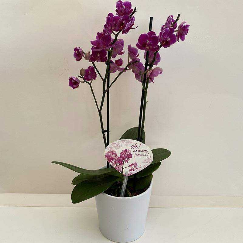 Bordo Midi Orkide