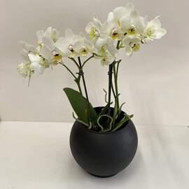 Beyaz Midi Orkide